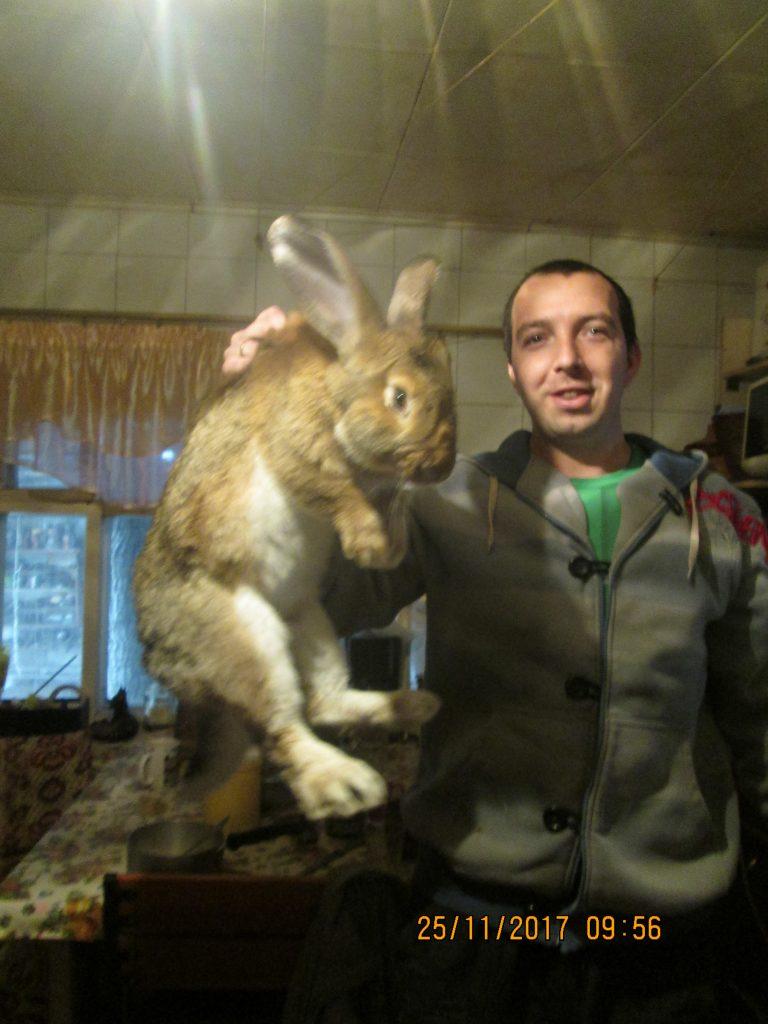 кролик фландр фото вживую