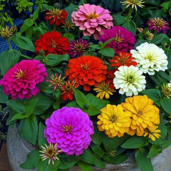 Цветок циния — фото, виды, выращивание, посадка и уход