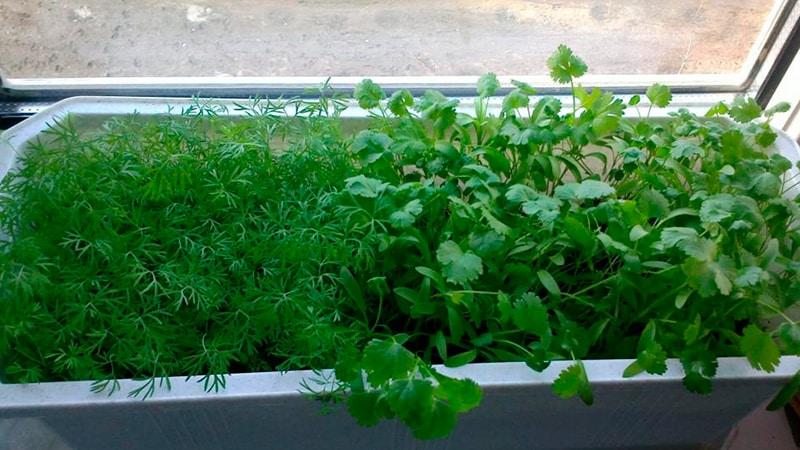 Укроп Салют описание сорта выращивание и уход с фото