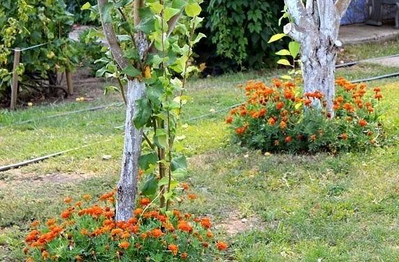 настурция под деревьями в саду