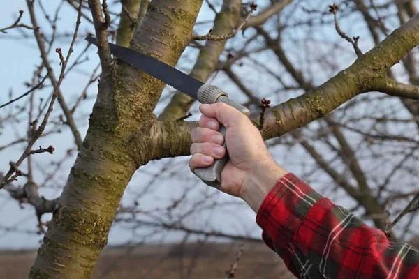 Фруктовые деревья и кустарники обрезают в разное время