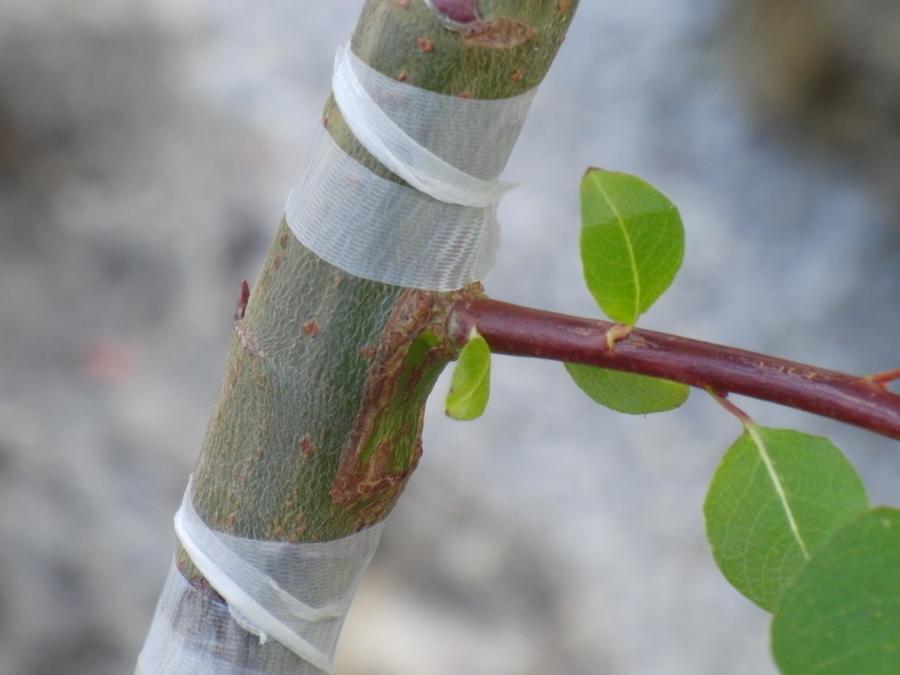 Прививка яблони весной – сроки, способы в расщеп и в разрез, особенности технологии прививки для начинающих — Садово-огородный рай