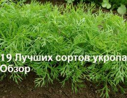 укроп семена лучшие сорта
