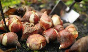 Миниатюра к статье Календарь посадки луковичных цветов: какие луковичные сажают весной, а какие осенью?